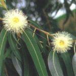 Tratamentos e receitas do chá de eucalipto