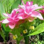 Receita e benefícios do chá da planta zedoária