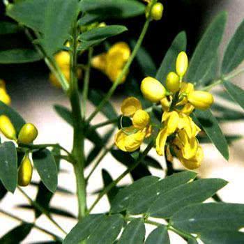 Imagem da planta - Sene