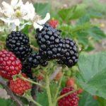 Chá de folhas de amora – Conheça seus benefícios