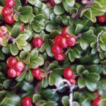 Chá de uva ursi – Para que serve?
