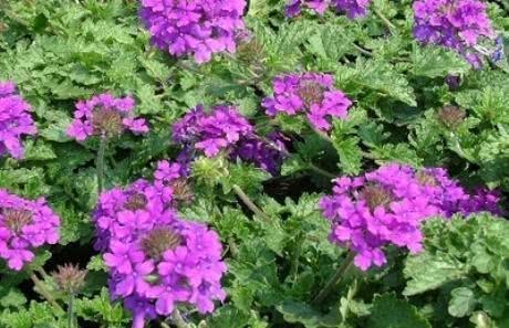 Verbena - Conheça os poderes do chá desta erva