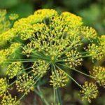 Chá de erva doce – Benefícios para saúde