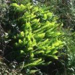 Chá de erva de bicho – Benefícios e propriedades
