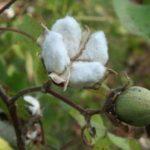Chá de algodoeiro – Um amigo da saúde da mulher
