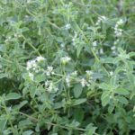 Chá de manjerona – Benefícios e propriedades