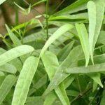 Chá de pariri – Benefícios e propriedades