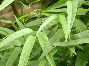 Planta pariri