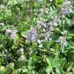 Chá de Verônica – Benefícios e Propriedades