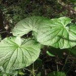 Chá de caapeba – Benefícios e propriedades