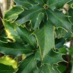 Chá de espinheira santa – Benefícios e propriedades