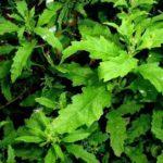 Chá de mastruz – Benefícios e propriedades