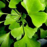 Chá de ginkgo biloba – Benefícios e propriedades