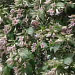 Chá de quina-quina – Benefícios e propriedades