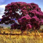 Chá de sucupira – Benefícios e propriedades da planta