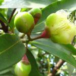 Chá de andiroba – Benefícios e propriedades