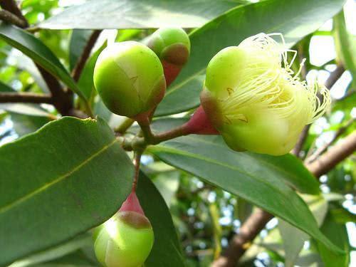 Chá de andiroba - Benefícios e propriedades
