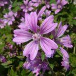 Chá de malva – Benefícios e propriedades