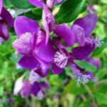 Chá de polígala – Benefícios e propriedades