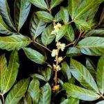 Chá de marapuama – Benefícios e propriedades