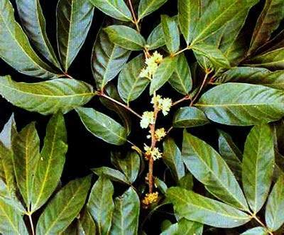 Chá de marapuama - Benefícios e propriedades