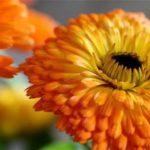 Chá de calêndula – Benefícios e propriedades
