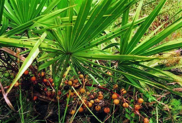 Chá de Saw Palmetto - Benefícios e propriedades