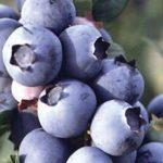 Chá de mirtilo – Benefícios e propriedades