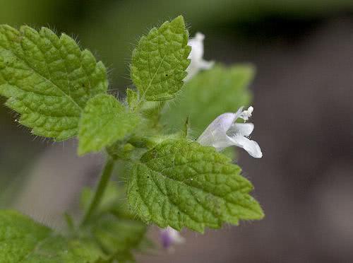 Chá de erva cidreira - Benefícios e propriedades