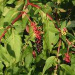 Chá de fitolaca – Benefícios e propriedades