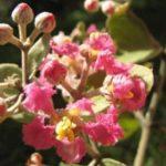 Chá de cipó prata – Benefícios e propriedades