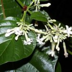 Chá de quina amarela – Benefícios e propriedades