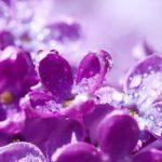 Chá de violeta – Benefícios e propriedades