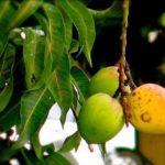 Chá das folhas de manga – Benefícios e propriedades