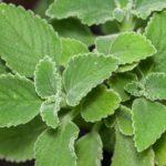 Chá de aluman – Benefícios e propriedades
