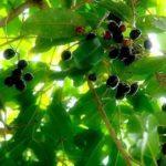 Chá de jambolão – Benefícios e propriedades