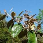 Chá de canela de velho – Benefícios e propriedades