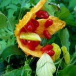 Chá de melão de são caetano – Benefícios e propriedades