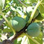 Chá de figueira – Benefícios e propriedades