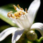 Chá de flor de laranjeira – Benefícios e propriedades