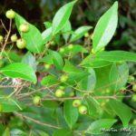 Insulina vegetal – Chá de pedra uma caá