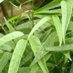 Chá de cipó cruz no combate a doenças sérias