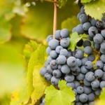Chá de folhas de uva trata varizes e problemas digestivos