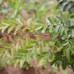 Aromática e eficaz contra doenças: conheça a planta cumaru