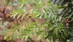 aromatica-e-eficaz-contra-doencas-conheca-a-planta-cumaru