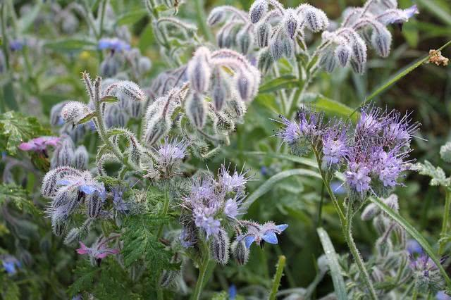 Borragem: planta medicinal que promove '1001' benefícios