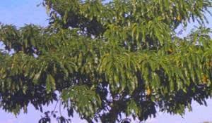 cha-de-casca-danta-eficaz-contra-doencas