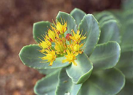 Planta é capaz de tratar anemia, ansiedade e impotência sexual