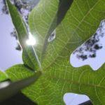 Chá de folhas de mamão: a receita ideal contra o câncer