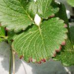 Fortaleça o sistema imunológico com chá das folhas de morangueiro